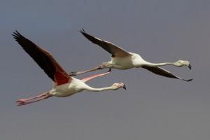 31 Flamingo