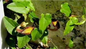 To eidos tou Iouliou2015. Aristolochia sempervirens L