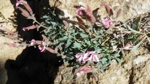 2014.09_Saponaria cypria