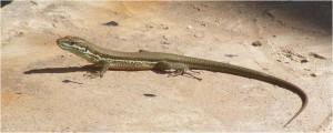 2012.02_Phoenicolacerta troodica