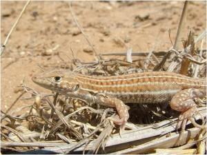2012.12_Acanthodactylus shreiberi