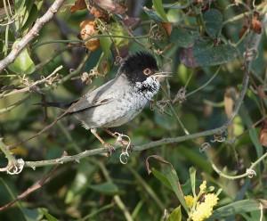 Cyprus_Warbler_(Sylvia_melanothorax)